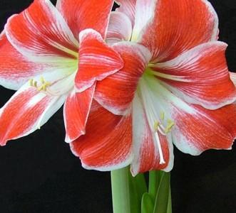 Amaryllis silviadeifiori for Un amaryllis