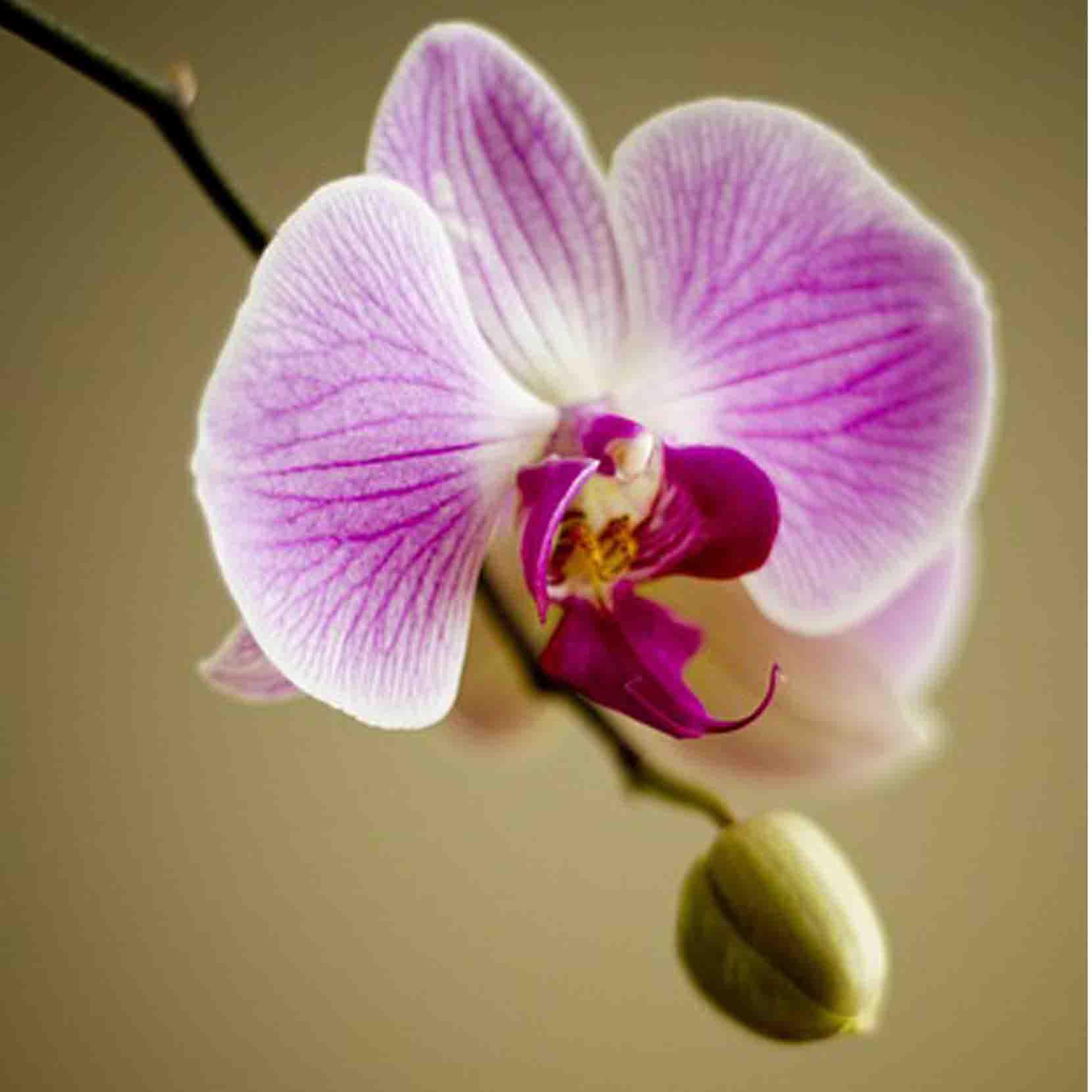 Orchidea silviadeifiori for Orchidea acqua