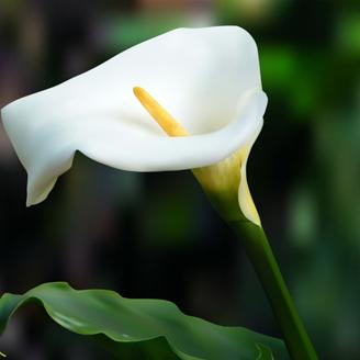 Calla silviadeifiori for Calla pianta